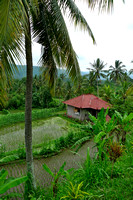 Rice paddies around Munduk