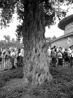 Ancient tree in the Temple of Heaven Park